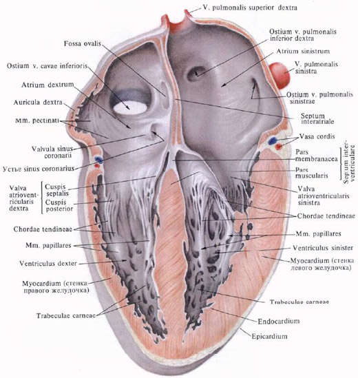 La paroi inférieure de l'oreillette gauche situé à gauche orifice ... - fr.shram.kiev.ua
