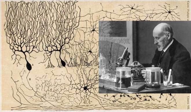 La découverte des neurones par Santiago Ramón y Cajal - Théorie cellulaire - innovationbynature.wordpress.com
