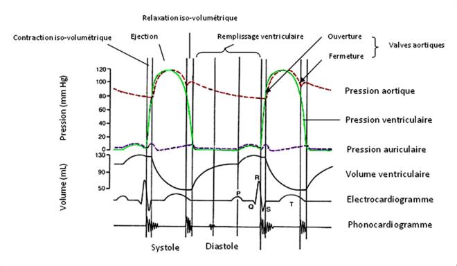 Cycle cardiaque - Bases de la cardiologie - Docteur Elvire MERVOYER - umvf.org