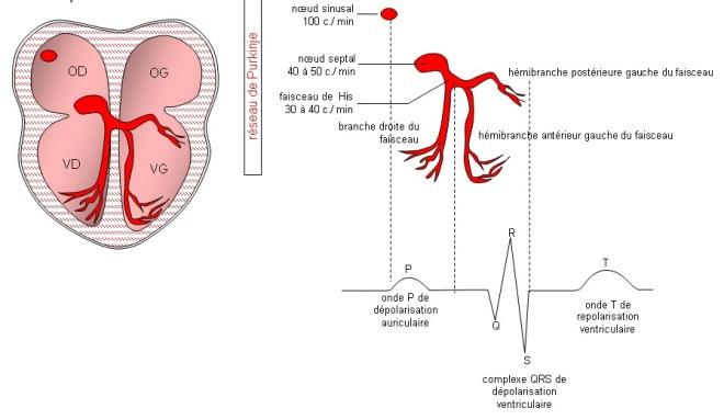 Conductibilité - Le bon fonctionnement de l'automatisme cardiaque - Physiologie cardiaque - recap-ide.blogspot.com