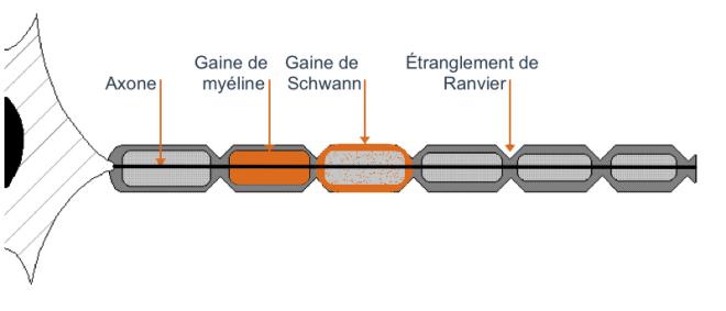 La fibre nerveuse et ses gaines - NEURO - ANATOMIE FONCTIONNELLE - anatomie-humaine.com