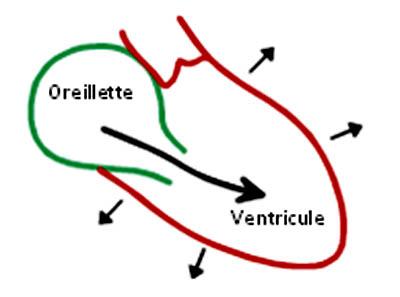 Remplissage ventriculaire - Campus Sémiologie cardiologique - campus.cerimes.fr