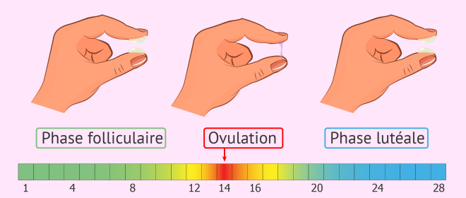 La glaire cervicale: un indice de l'ovulation? - Par Dr. Óscar Oviedo Moreno (gynécologue), Zaira Salvador (embryologiste) et Isabelle Gutton (invitra staff) - inviTRA FR