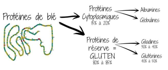 Gluten structure composition - Qu'est-ce que le gluten? - audreybesson.fr