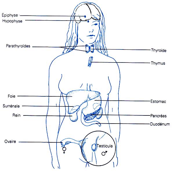 Des glandes dans tout le corps (Karen Arms 1988) - Le système endocrinien ou hormonal - Biologie humaine - Alessandro Conti .ch