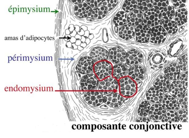 Composante conjonctive - Le Tissu Musculaire - histoblog.viabloga.com