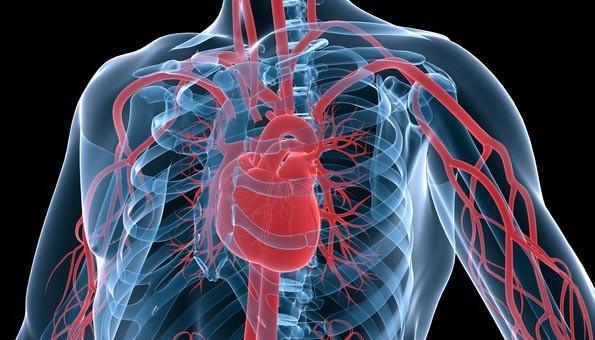Système circulatoire - Google image