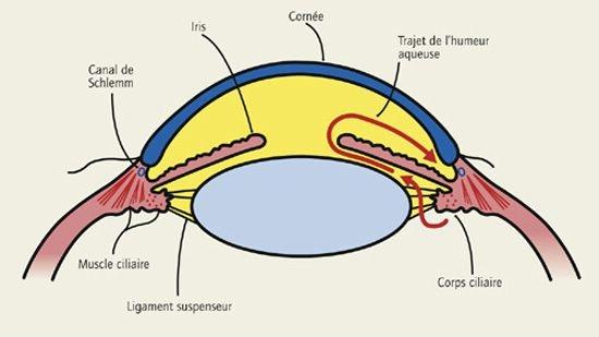Mécanismes physiopathologiques - Se protéger du glaucome - yogadesyeux.com