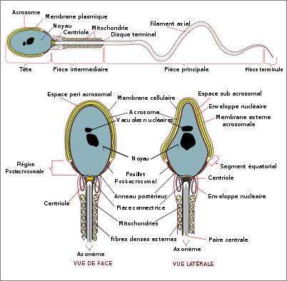 Schéma d'un spermatozoïde - La reproduction la vraie - css-biologie