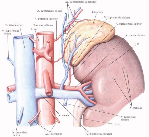 Aa. suprarenales superiores - La structure des glandes surrénales - fr.shram.kiev.ua