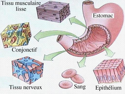 Tissus - Voici l'exemple de l'estomac - L'anatomie - jeminstruis.blogspot.com
