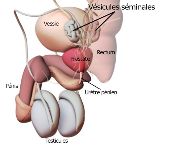 (via Pixelmator) La prostate - Cancer de la Prostate Canada