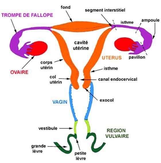 Anatomie des voies génitales féminines. Ici, le Gloss n'est pas indispensable... - Le Crabe aux pinces reulou (Virus HPV & Cancer du Col de l'Utérus) - leschroniquesdesonia.fr