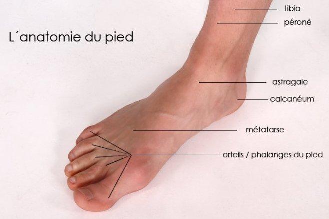 L'anatomie du pied - schuhdealer.fr
