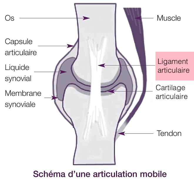 Schéma d'une articulation mobile - ligaments - lookfordiagnosis.com