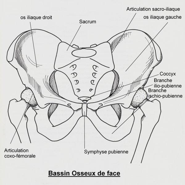 Bassin (anatomie) - fr.wikipedia.org