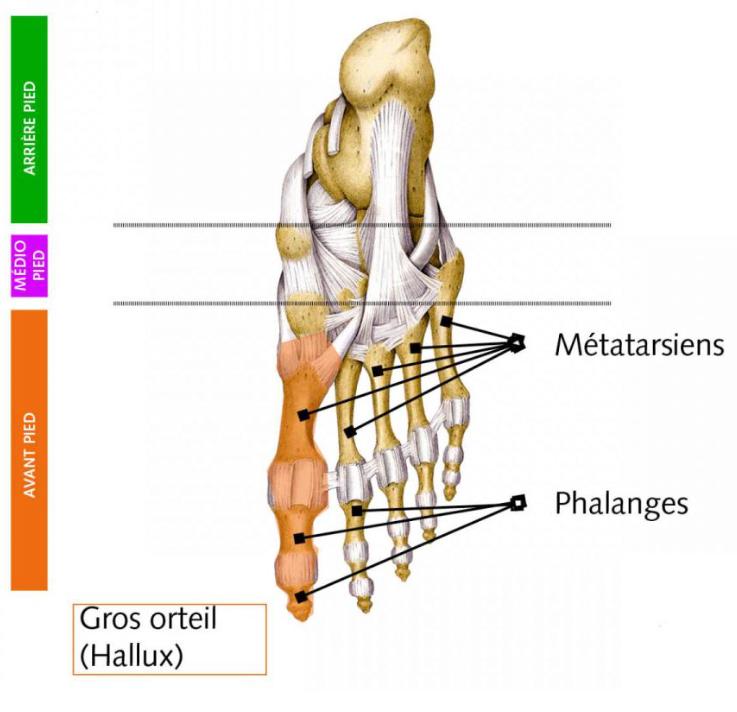 Gros orteil (Hallux) - Anatomie du pied - drguire-pied.com