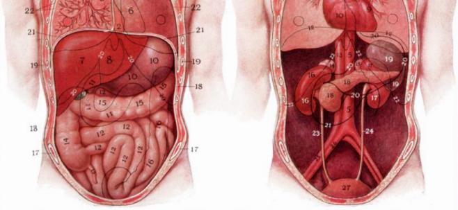 Carte Postale Anatomie de l'abdomen et du coffre - Zazzle