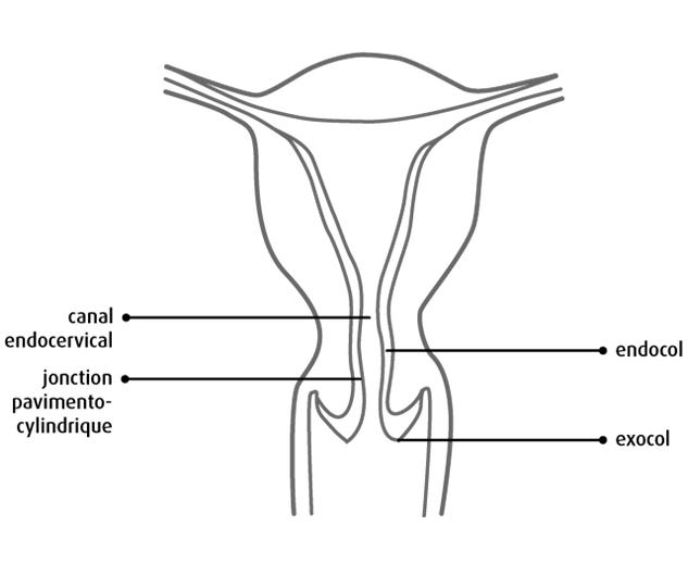 Anatomie et physiologie du col de l'utérus - www.cancer.ca/fr
