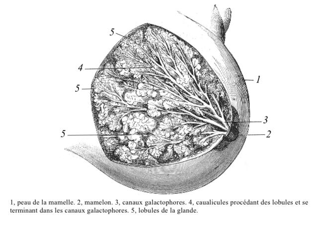 Le sein d'une femme (Homo sapiens) – Meyer Ch. – Un naturaliste du Midi – Wikimedia Commons - Wiktionnaire