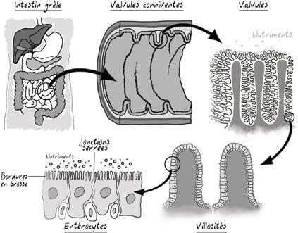 À quoi ressemble l'intestin ? - thierrysouccar.com
