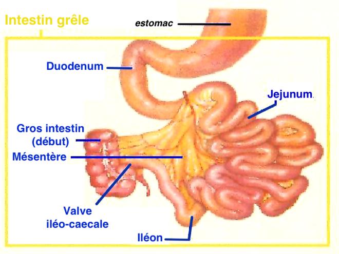 L'intestin grêle - Blog de medecin - Skyrock.com