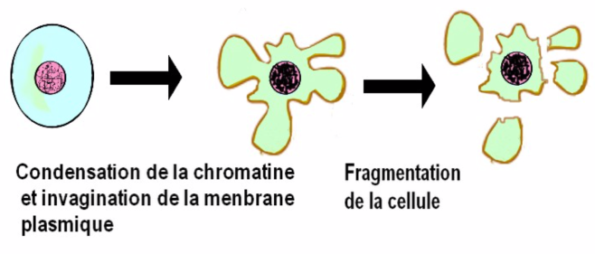 Apoptose - Description du phénomène d'apoptose - tpe-cancer-poumon-traitements-pss-1ere-s.e-