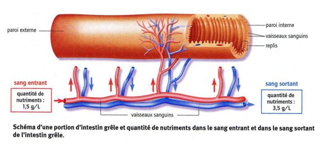 Les nutriments passent dans le sang au niveau de l'intestin grêle - sciencesdelavieetdelaterre93 - WordPress.com