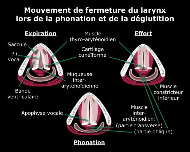 Mouvement de fermeture du larynx lors de la phonation et de la déglutition - Laryngologie - md.ucl.ac.be