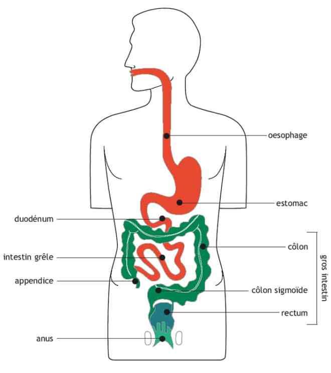 Le tube digestif - belgianfapa.be