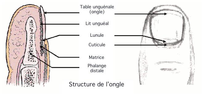Schéma - Ongle (gif) - Terminologie médicale - bio-top.net