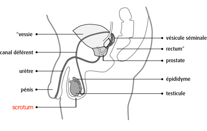 Appareil reproducteur masculin - Schéma de l'appareil reproducteur masculin - cancer.ca