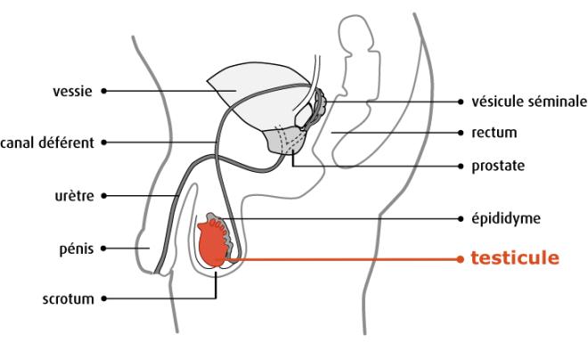 (via Pixelmator) Appareil reproducteur masculin - Anatomie et physiologie du testicule - Société canadienne du cancer
