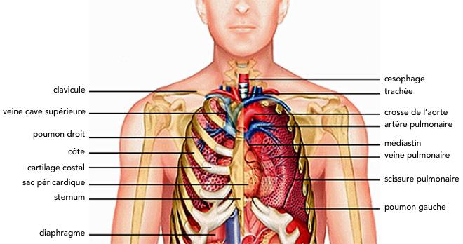 Anatomie du thorax - Systèmes; urinaire et génital, Homme - guycombesarchitecture.com
