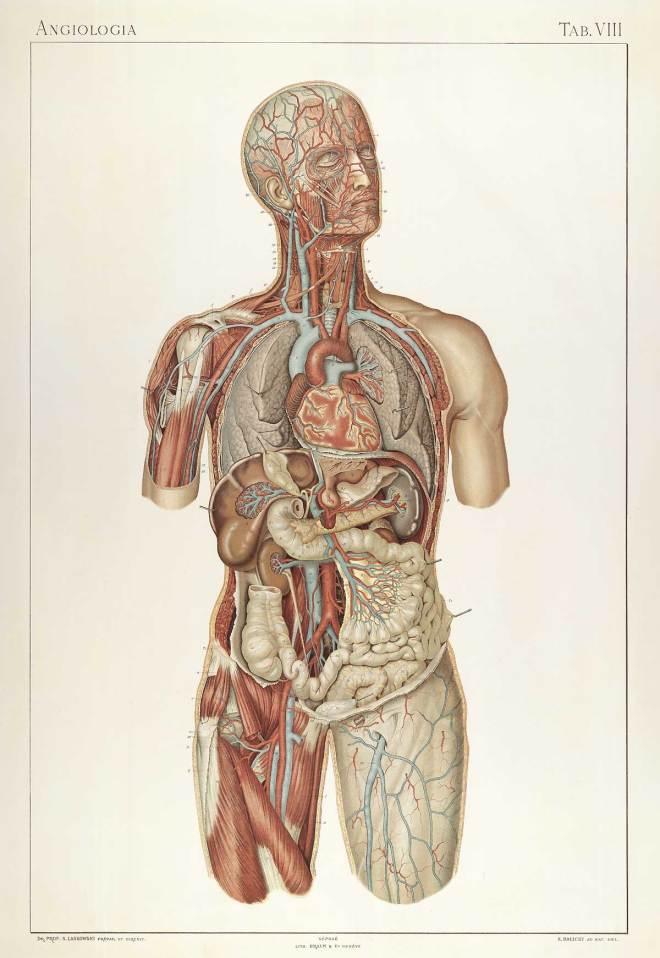 Angiologia TAB.VIII - CORPORIS · FABRICA