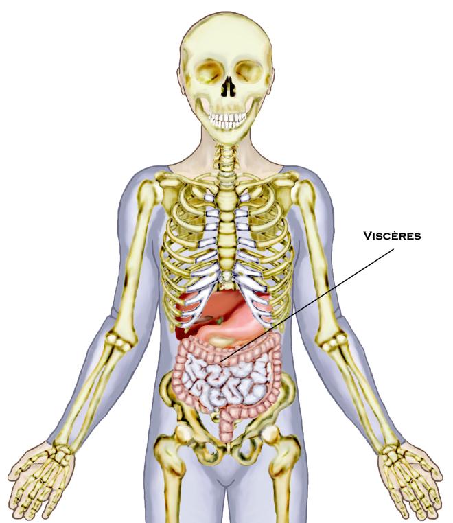 Le système osseux de l'abdomen - L'abdomen ne comporte pas d'os ni d'articulations en tant que tel. Il est délimité en sa partie supérieure par les os du thorax, par le sacrum en sa partie inférieure et par les vertèbres lombaires en sa partie postérieure. Il sert principalement à loger les viscères - MÉCANIQUE CORPORELLE DE L'ABDOMEN - Technique Rollin, Tous droits réservés