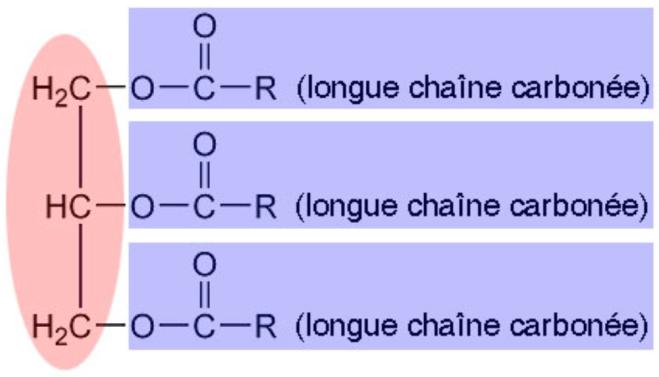 Les triglycérides sont construits sur une structure en forme de fourchette - afblum.be