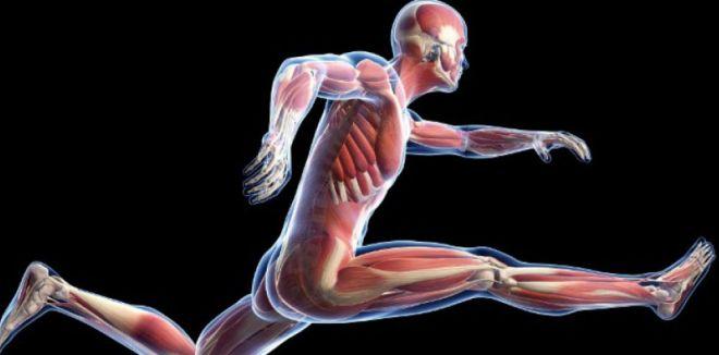 Un traitement pour reconstruire le muscle - sciencesetavenir.fr
