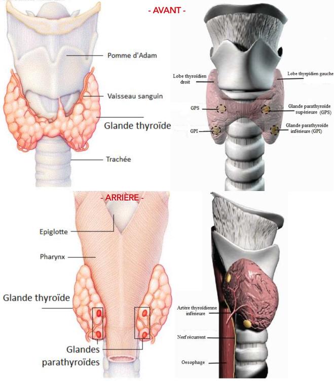 Parathyroïde - Google Images
