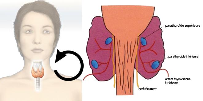 Structure de la glande parathyroïde - Google Images