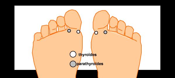 La thyroïde et les parathyroïdes - S'informer sur la réflexologie plantaire