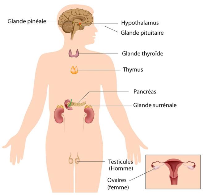 Le Système Endocrinien - medicatrix.be