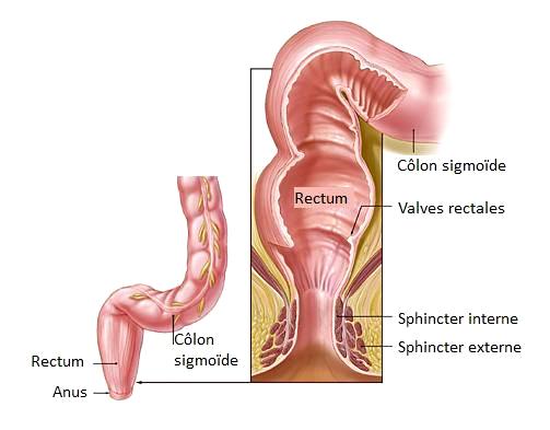 Le rectum fait suite au côlon, et abouche sur l'anus - Rectum - FUTURA Santé
