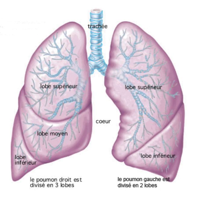 Anatomie du poumon - pneumocourlancy.fr