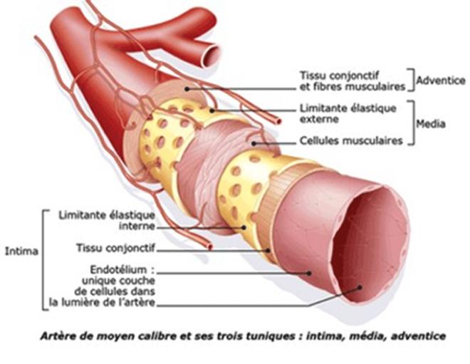 Structure, anatomie et fonction des artères coronaires - adetec-coeur.fr