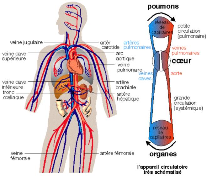 L'appareil circulatoire sanguin de l'homme est clos. La circulation est à sens unique. - pst.chez-alice.fr