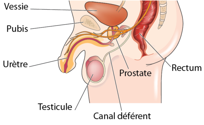 L'anatomie et physiologie de la prostate - Centre Européen de la Prostate Elle est développée autour de la portion initiale de l'urètre, au carrefour des voies urinaires et des voies spermatiques - centre-europeen-prostate-paris.com