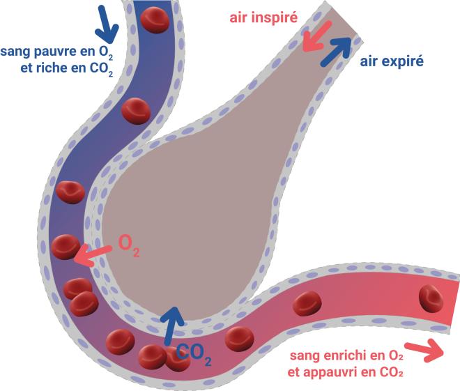 (via pixelmator) La diffusion du dioxygène - bv.alloprof.qc.ca