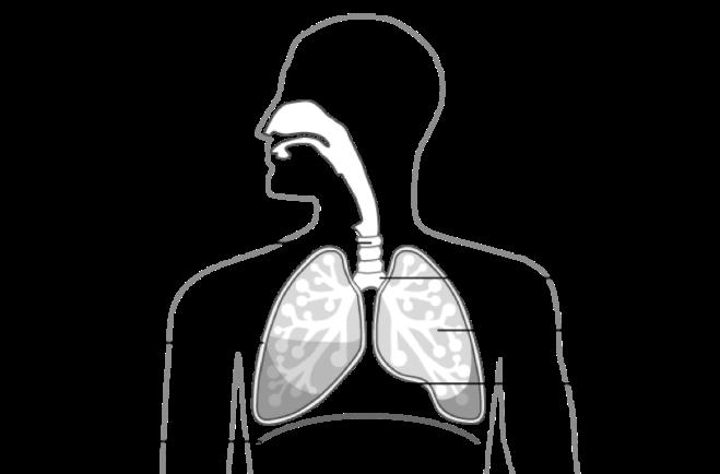 Schéma de l'emplacement des poumons - cancer.ca
