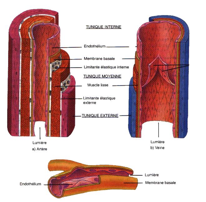 Structure des artères des veines et des capillaires - artèresvetcap - bio.m2osw.com